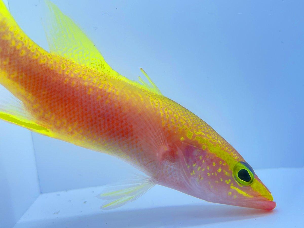Golden Bass 6.jpg