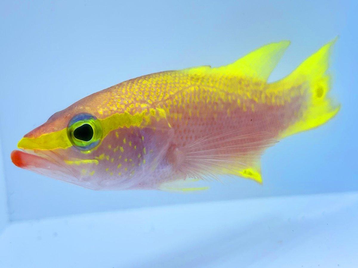 Golden Bass 7.jpg
