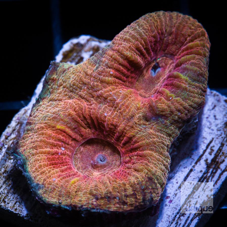 golden fluted coral 68 44.jpg