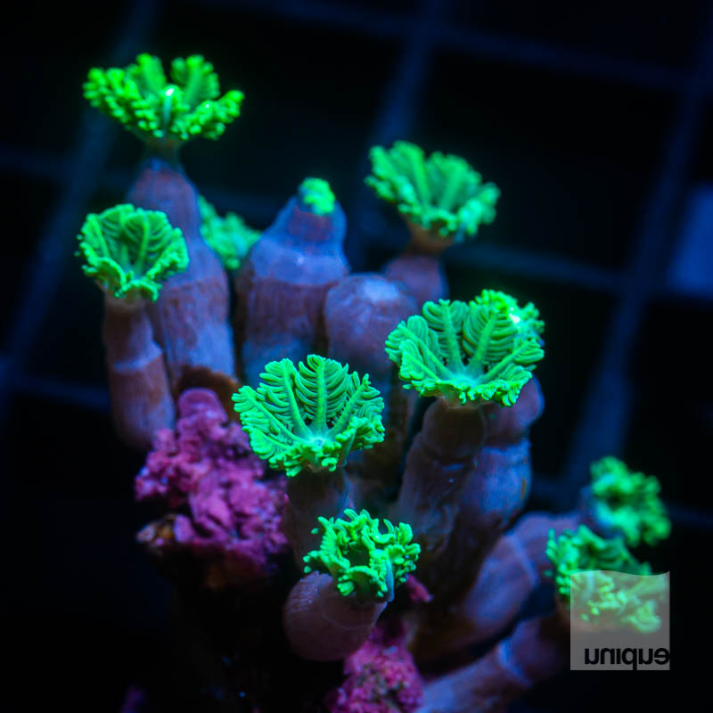Green Clove Polyps 19 5.jpg