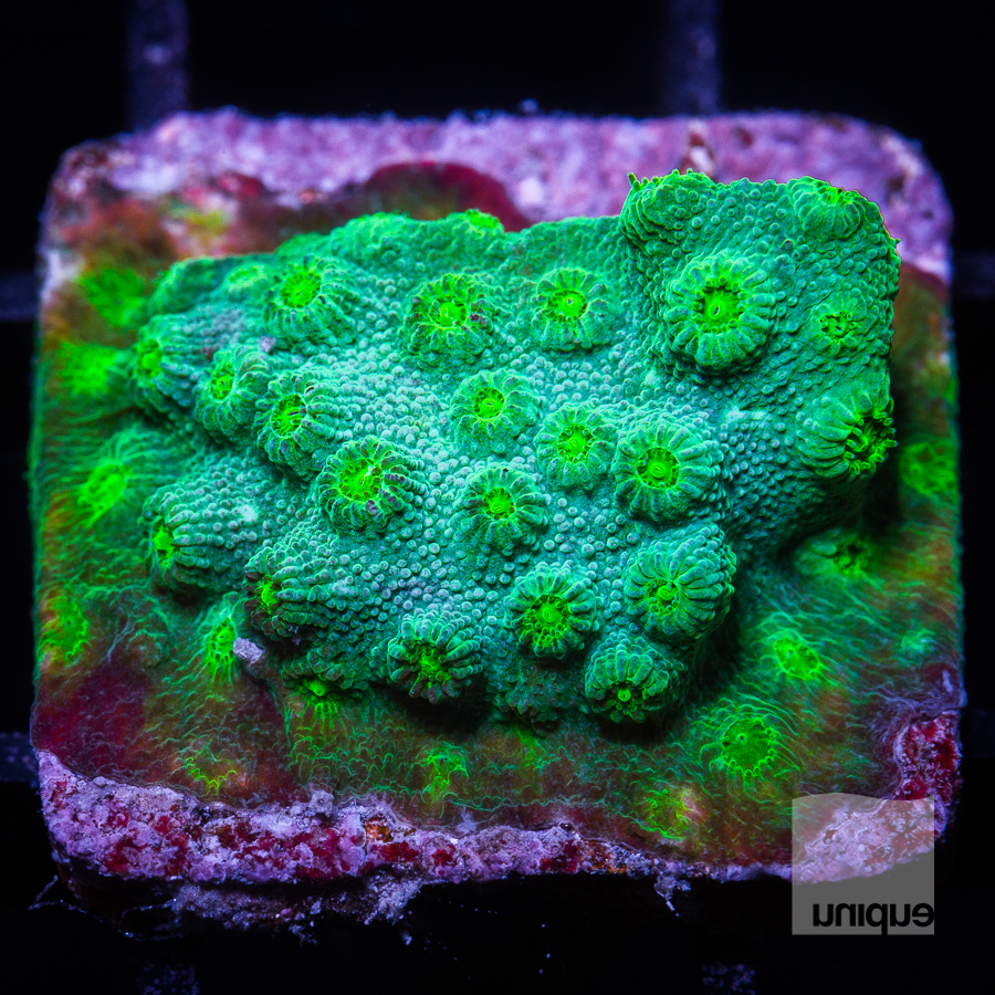 green cyphastrea 32 22.jpg