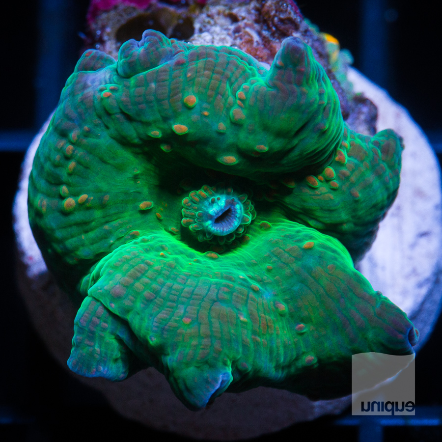 green discosoma 38 21.jpg