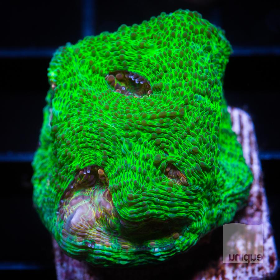 green echinata 44 28.jpg