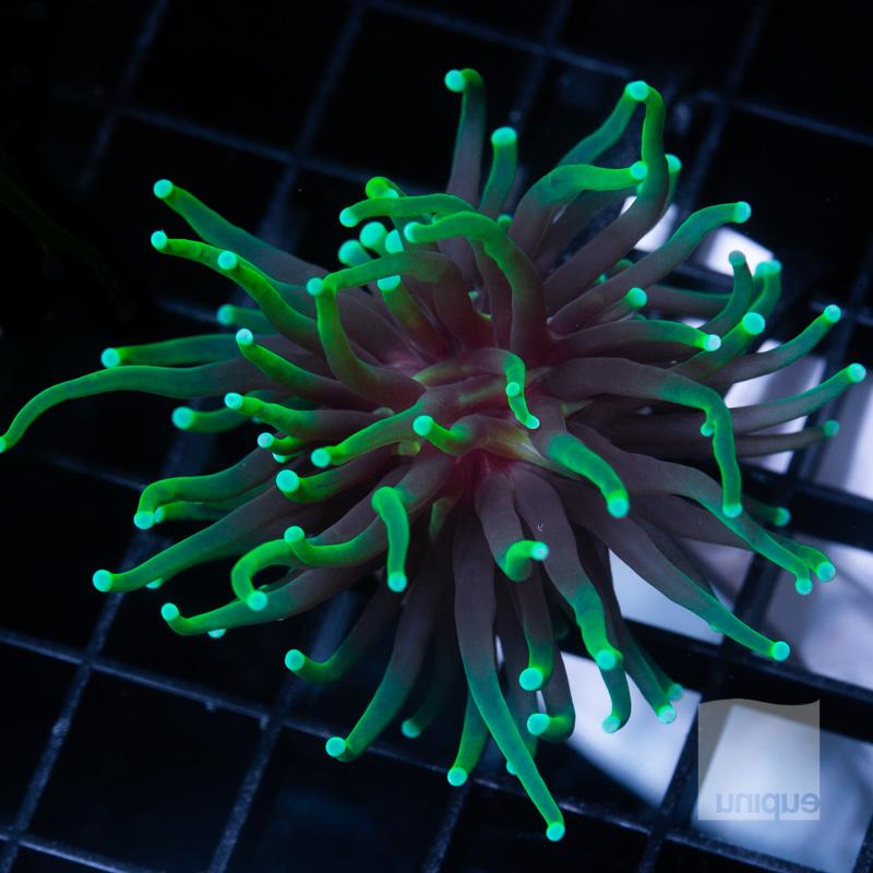 Green Fade Torch 209 139.jpg