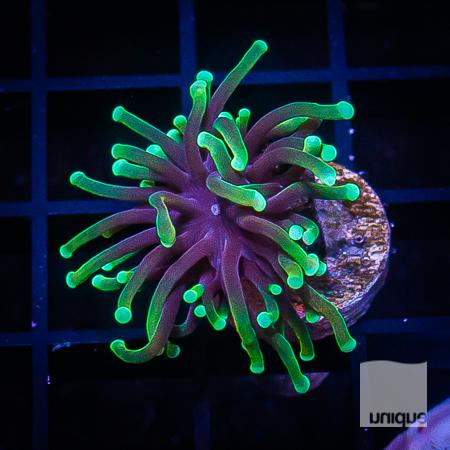 green fade torch 78 52.jpg