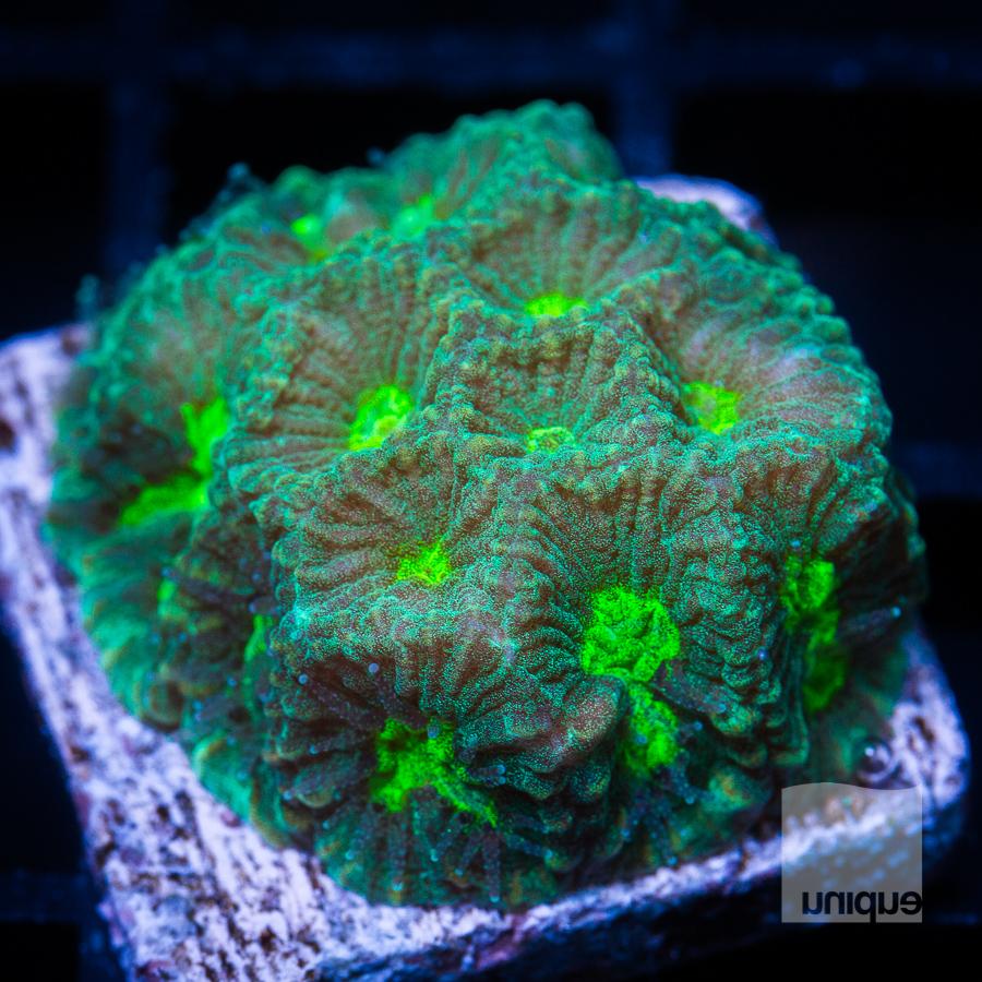 green favia 32 21.jpg