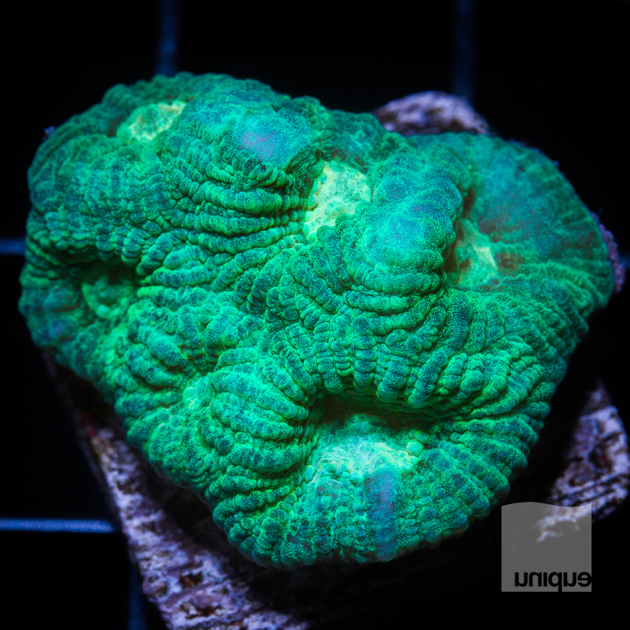 green favia 34 18.jpg