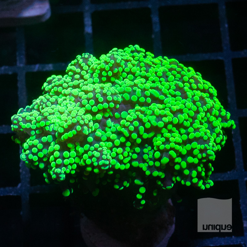 Green Frogspawn 109 72.jpg