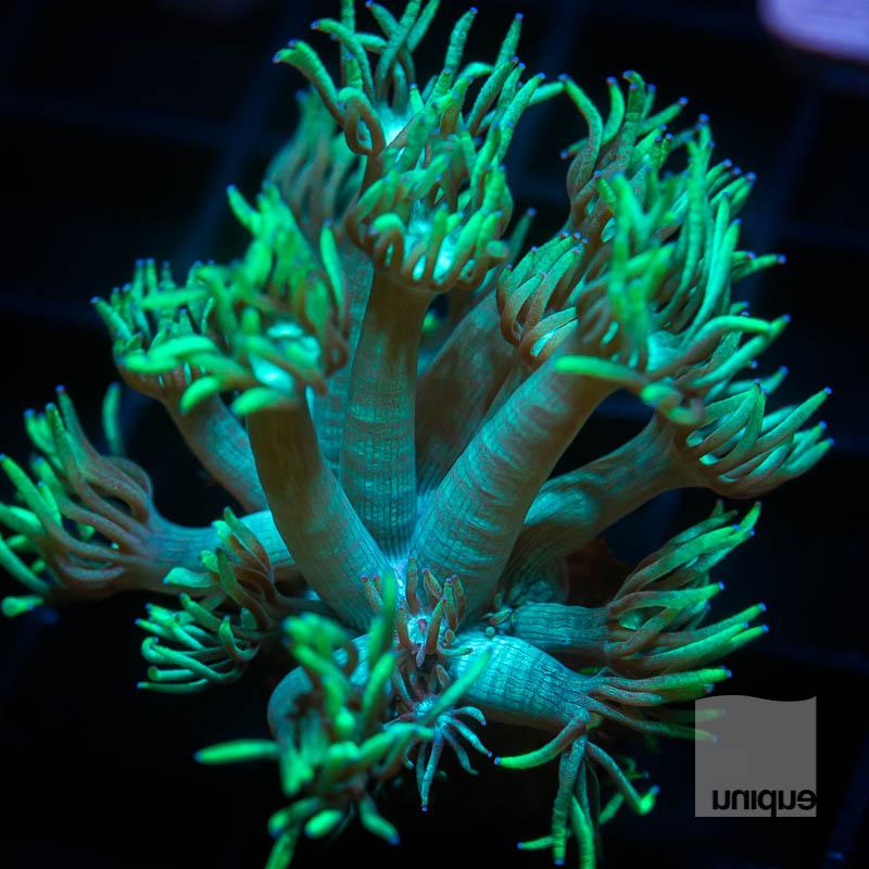 Green Goniopora 36 23.jpg