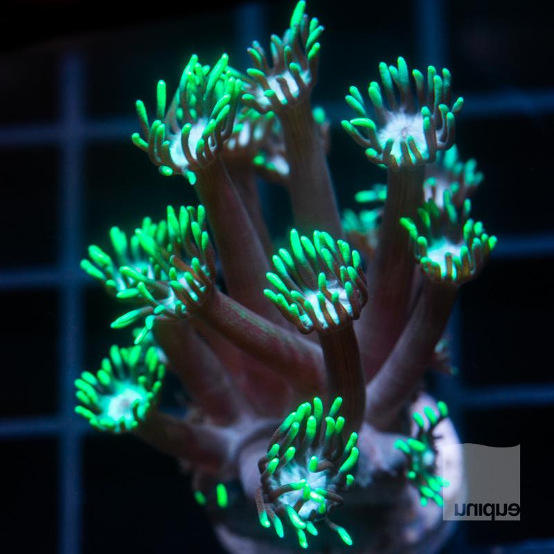Green Goniopora 42 21.jpg