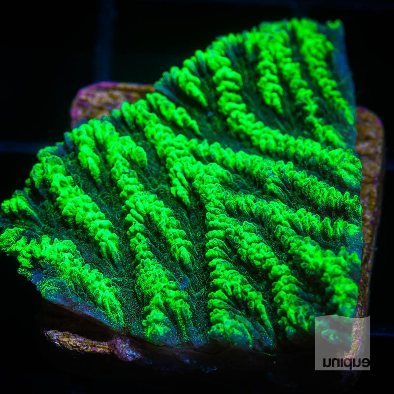Green Platygyra 39 29.jpg