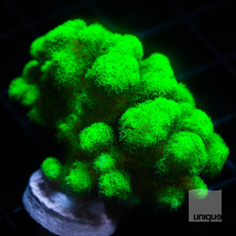 Green Pocillopora 29 18.jpg