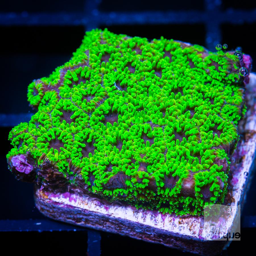 green polyp leptastrea 38 22.jpg