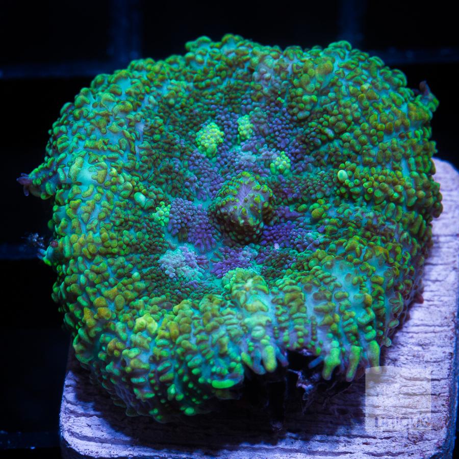 green rhodactis 52 28.jpg