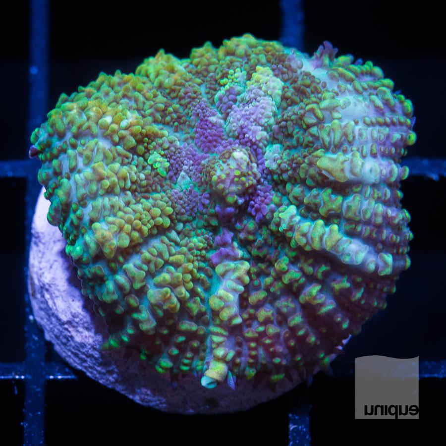 green rhodactis 52 32.jpg