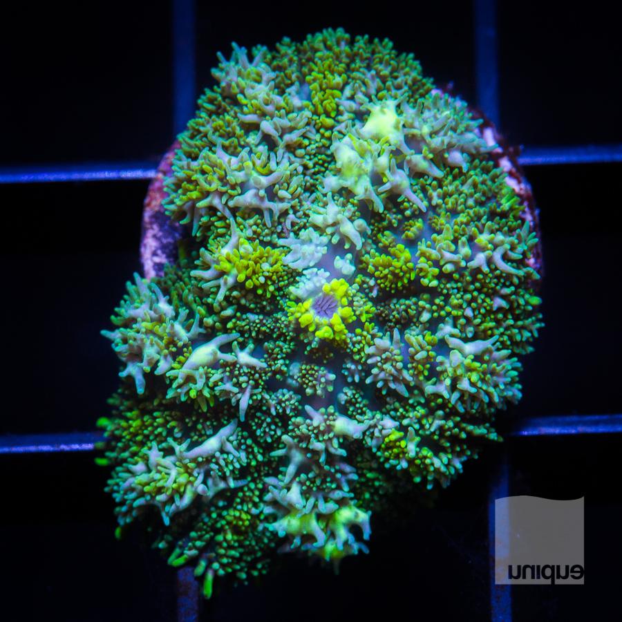 green rhodactis 68 42.jpg