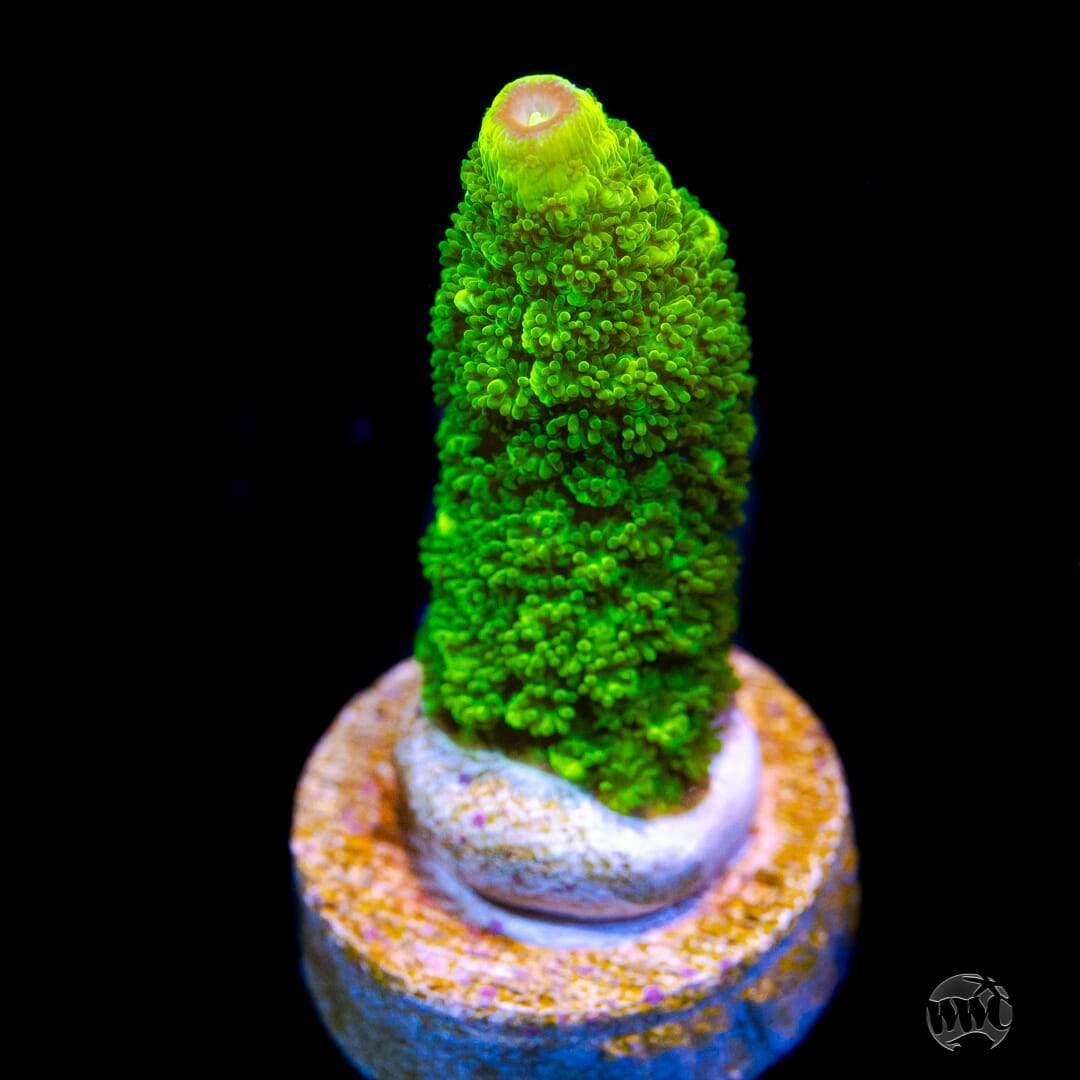 Green Slimer Acropora.jpg