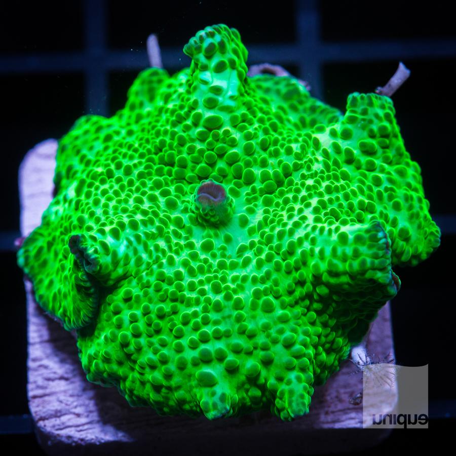 green spotted mushroom 32 19.jpg