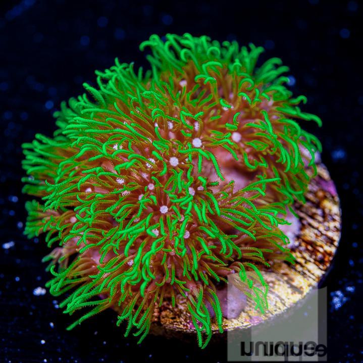green star polyps 8.jpg