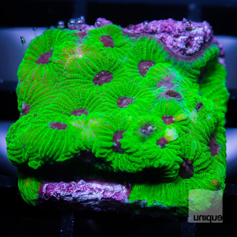 green war coral 32 22.jpg
