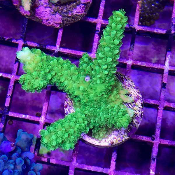 greenslimer2-600x600.jpg