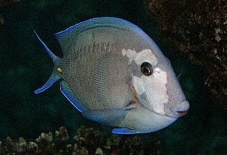 Fish Disease Index Pictorial Guide Reef2reef Saltwater And Reef Aquarium Forum