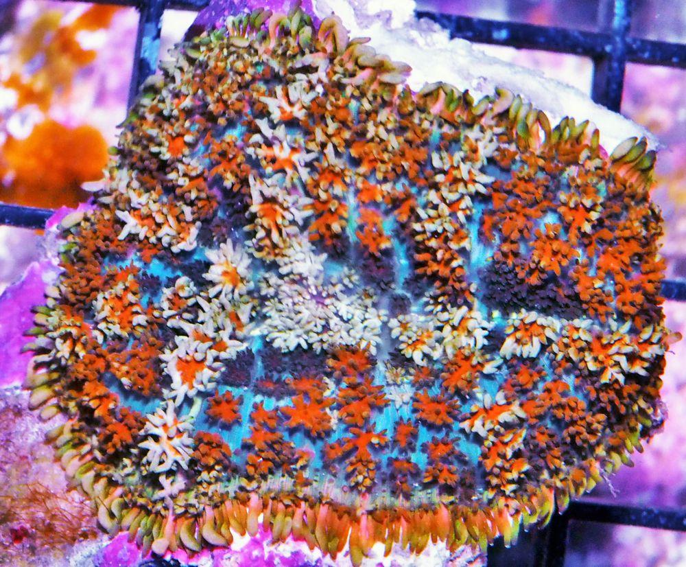 HP AU2615 299 Persian Carpet Shaggy Mushroom.jpg
