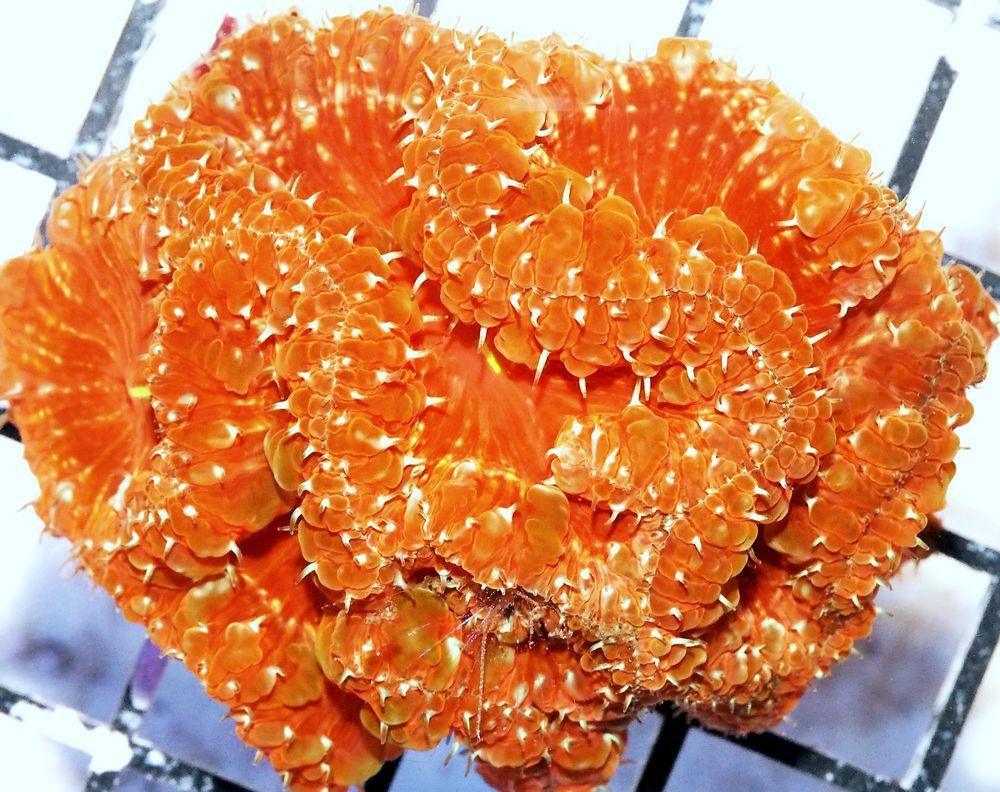 HP AU3119 279 Orange Rim Ruby Flashfire Blasto.jpg