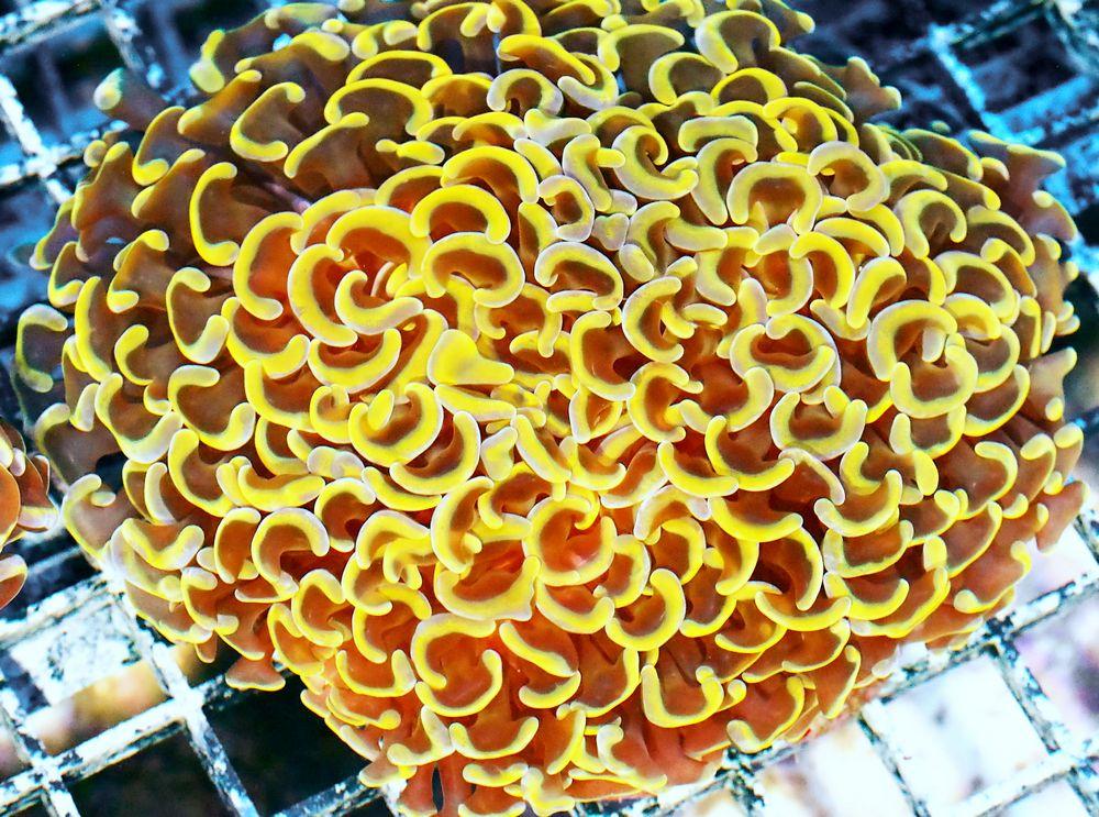 HP S0545 159 Yellow Orange Wall  Hammer.jpg