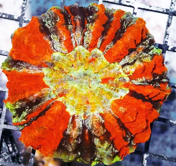 hpau2819superrainbowacanthophyllia3599(2).jpg
