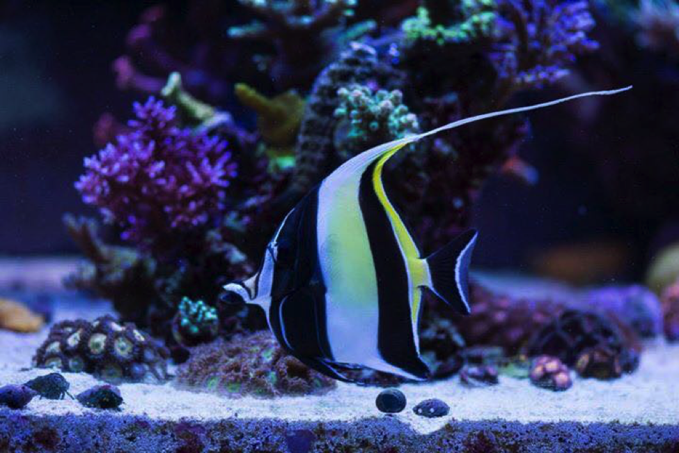Keeping The Mysterious Moorish Idol Reef2reef Saltwater And Reef