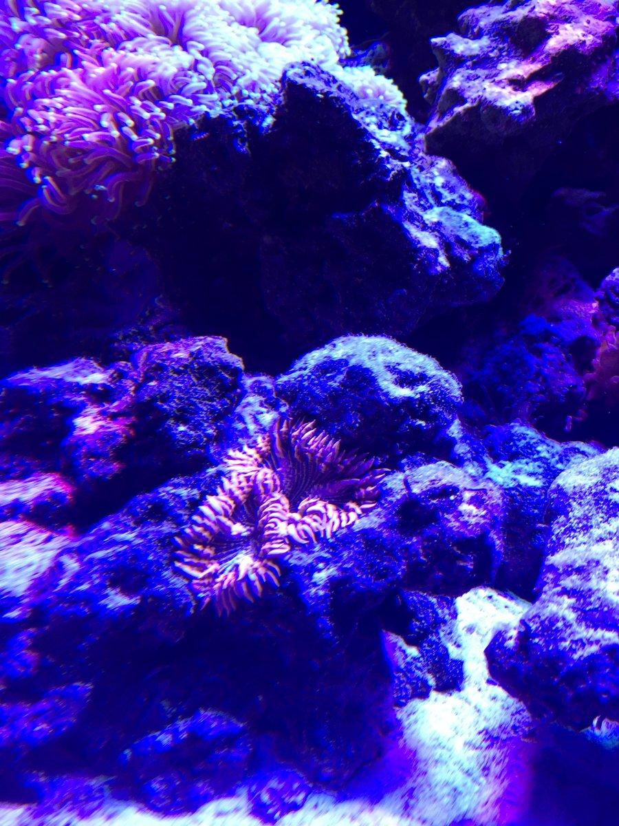 Losing Rock Flower Anemone Reef2reef Saltwater And Reef Aquarium Forum