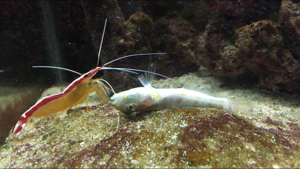 Dying Diamond Goby?   REEF2REEF Saltwater and Reef Aquarium