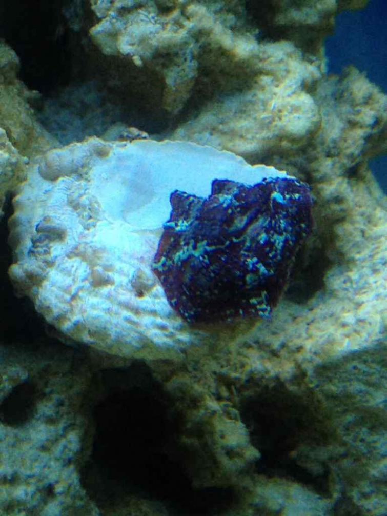 ImageUploadedByReef2Reef Aquarium Forum1379261588.592850.jpg