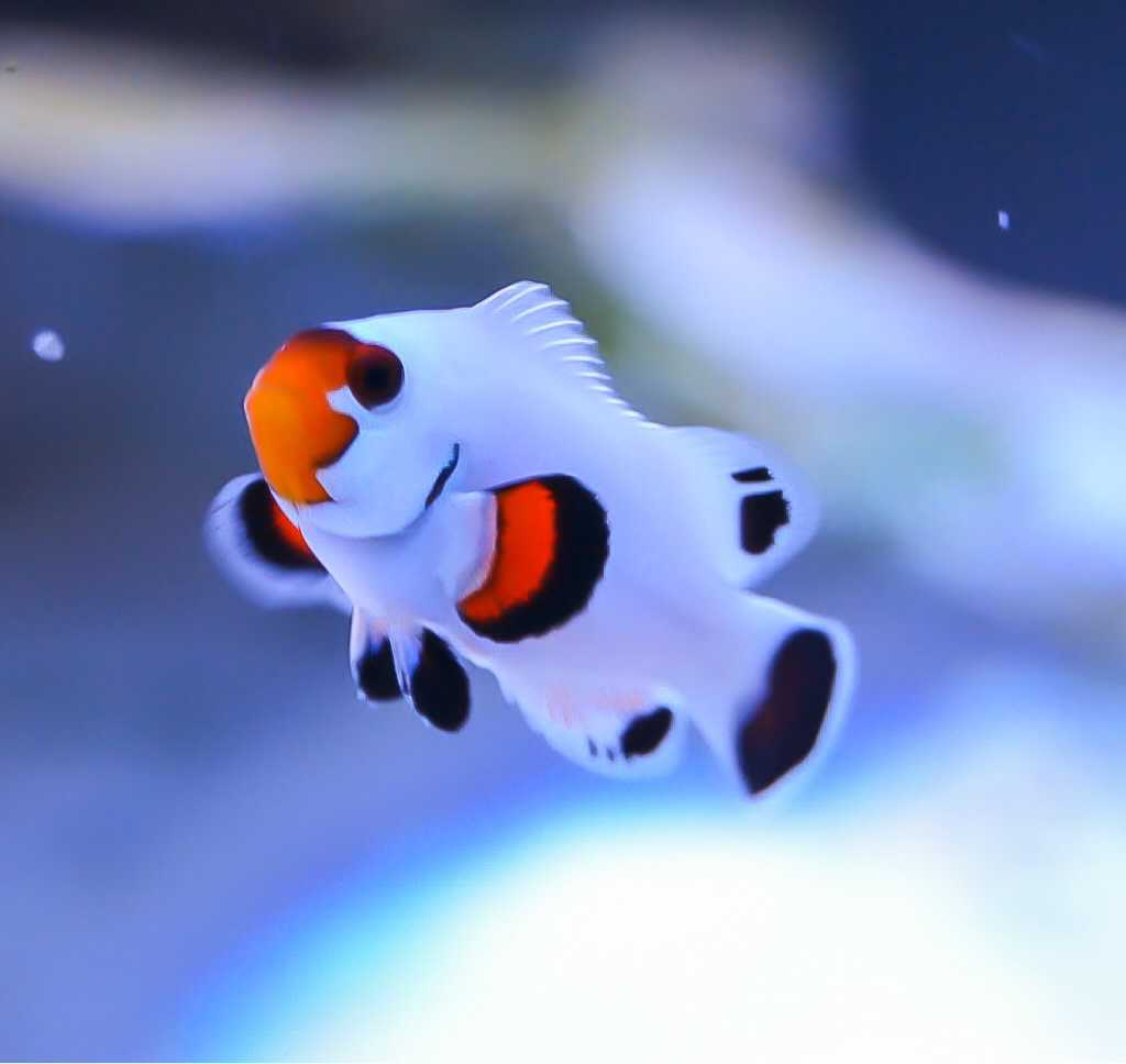 Are Wyoming Whites the most beautiful Clownfish ...