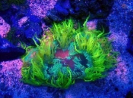 Coral beauty price comparisons reef2reef saltwater and for Aquarium elegance