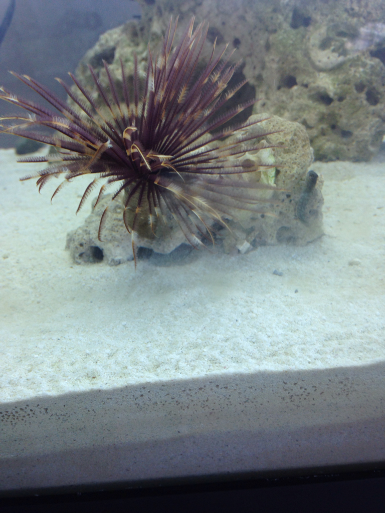 Feather Duster Worm Baby The GIANT, Amazing, Aw...