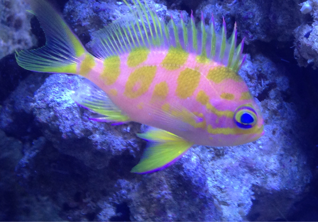 Coolest reef safe fish reef2reef saltwater and reef for Cool saltwater fish