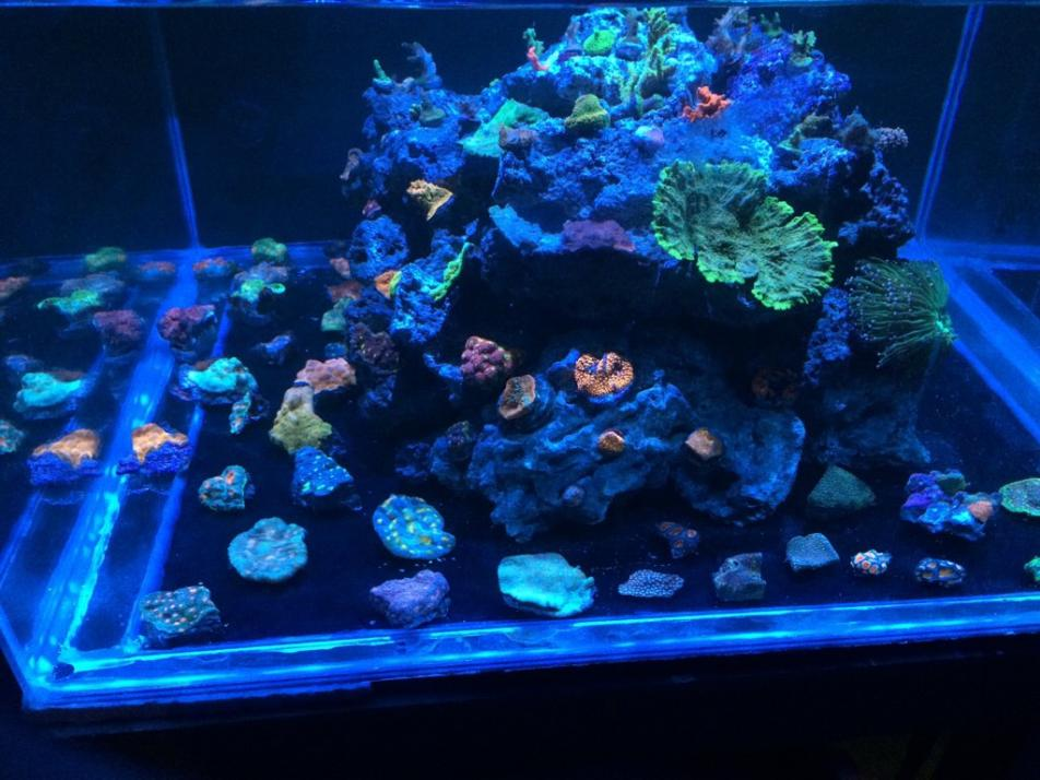 My 100g 36x36 star fire cube build reef2reef saltwater for Cube saltwater fish tank