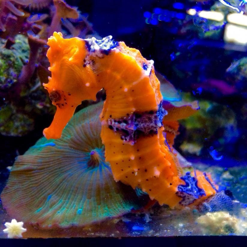 Seahorse addiction reef2reef saltwater and reef for Seahorse fish tank
