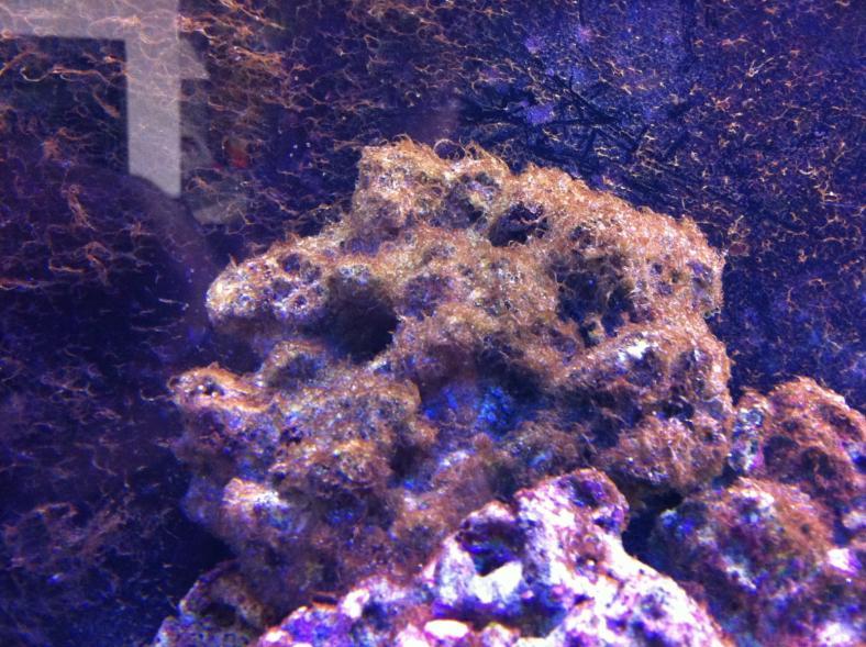 Dinoflagellates my experience......h2o2 reefing tool ...