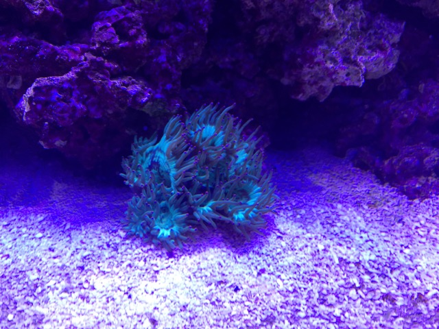 Elegance Coral Placement Health Reef2reef Saltwater And Reef