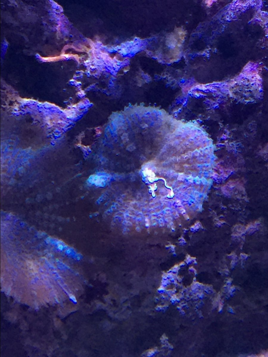 mesenterial filaments corals betting