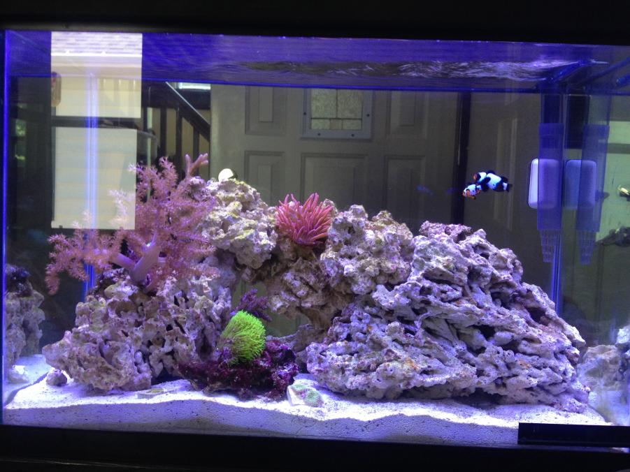 20 gallon fish stocking to accompany a pair of clowns for 20 gallon saltwater fish tank