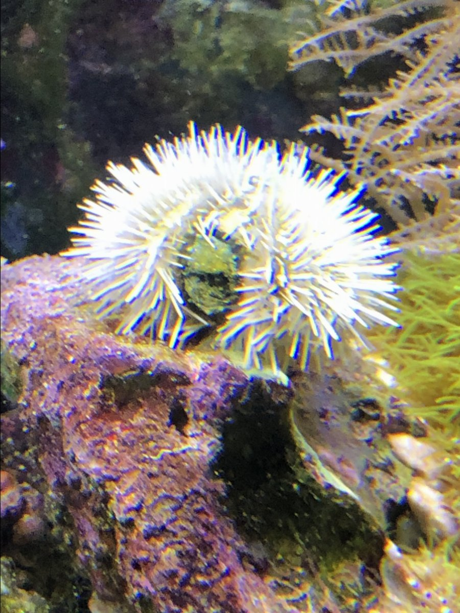 Sea Urchin has a green scab-like area | REEF2REEF Saltwater
