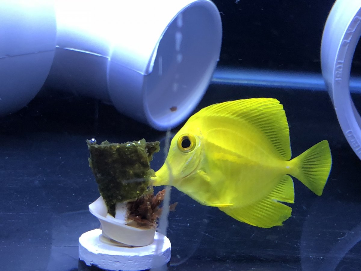 Potters with distended belly | REEF2REEF Saltwater and Reef