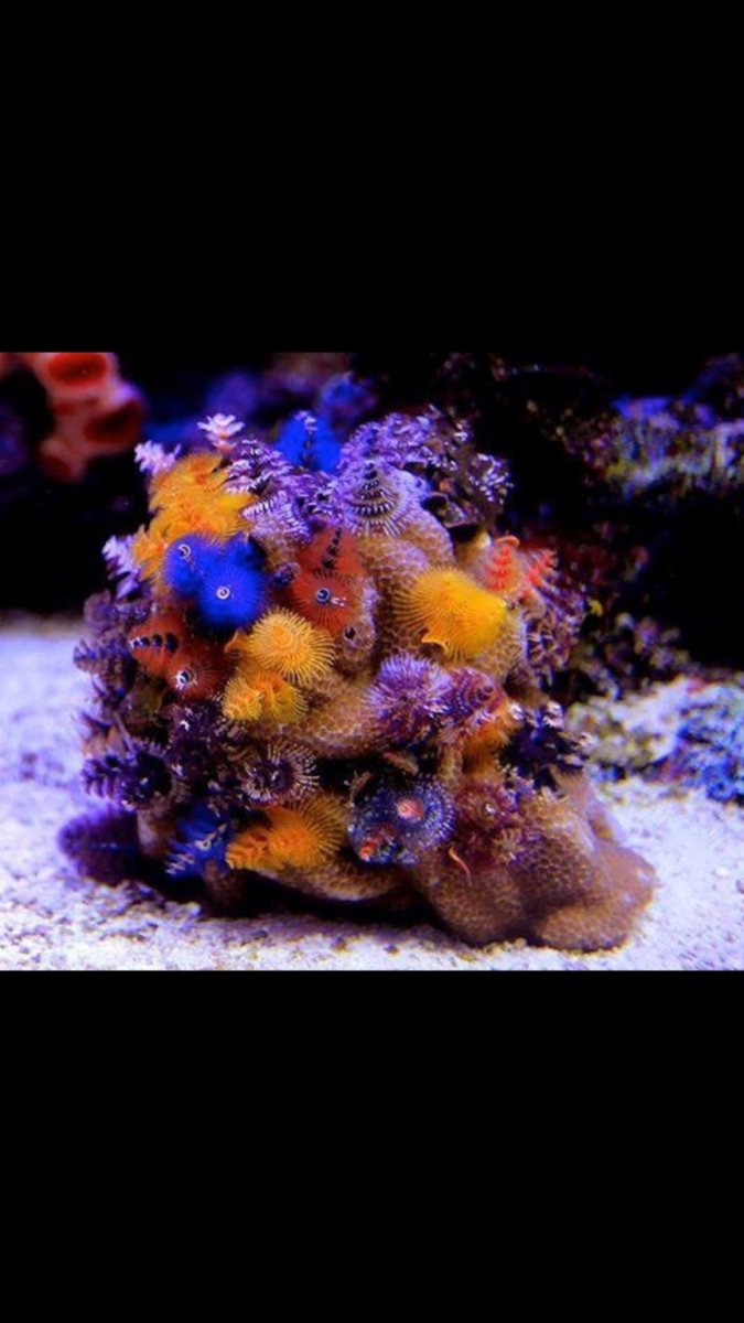 christmas tree coral care