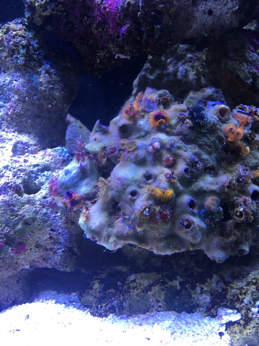 Christmas Tree Rock Care Reef2reef Saltwater And Reef Aquarium Forum