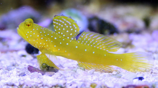 Yellow watchman goby o...