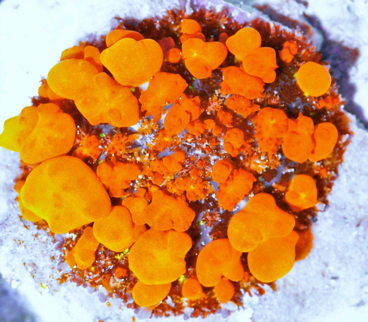 Incredible Super Orange Mother Bounce Uncut 125 1800.JPG
